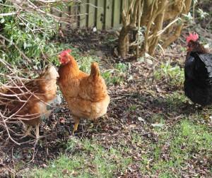 Keeping hens