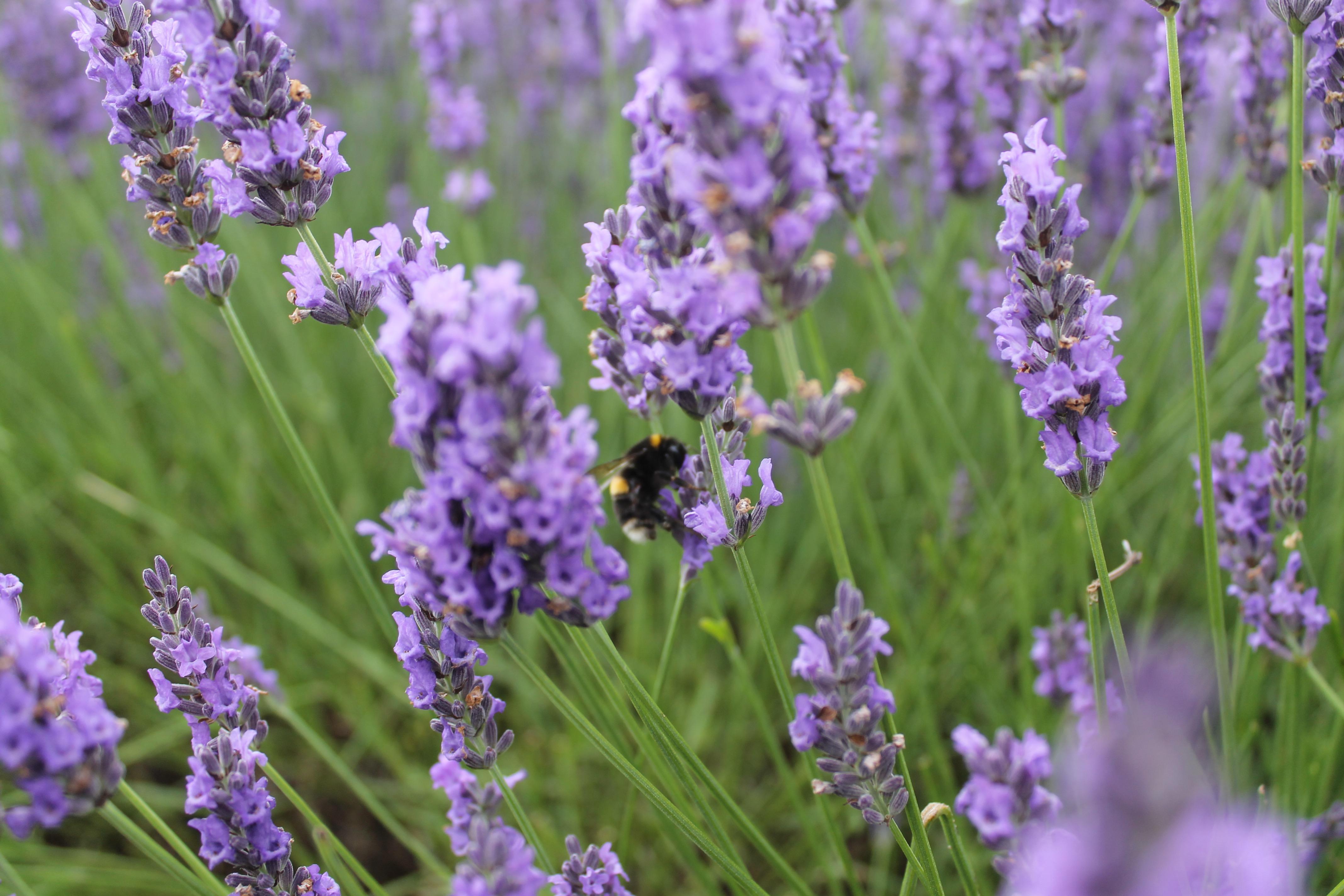 Hitchin Lavender 4